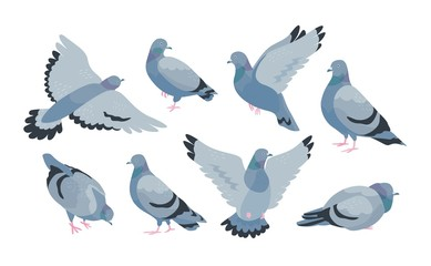 Collection of grey feral pigeon in various poses - sitting, flying, walking, eating. City or synanthrope bird isolated on white background. Colorful vector illustration in flat cartoon style. Fotomurales