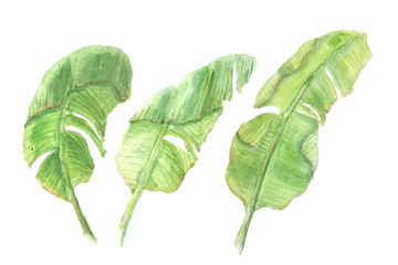 Set of green banana leaves on white background, watercolor illustrator, hand painted, leaf art