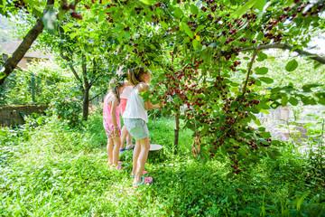 Children harvest cherry fruit
