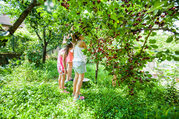 Children harvest cherry fruit