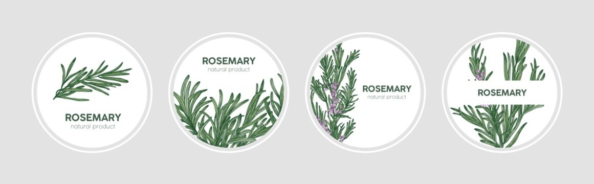 Collection of round labels decorated with rosemary sprigs. Set of beautiful circular tags with fragrant spicy culinary herb and place for text. Natural vector illustration in elegant antique style.