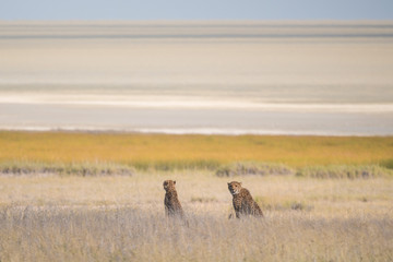 Two Cheetahs at the namibian landscape