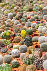 Cactus is the succulent plant with many different shapes, colors, variegated and beautiful flowers. Its native is in desert. People grow cactus for decorate in their garden, glasshouse or greenhouse.