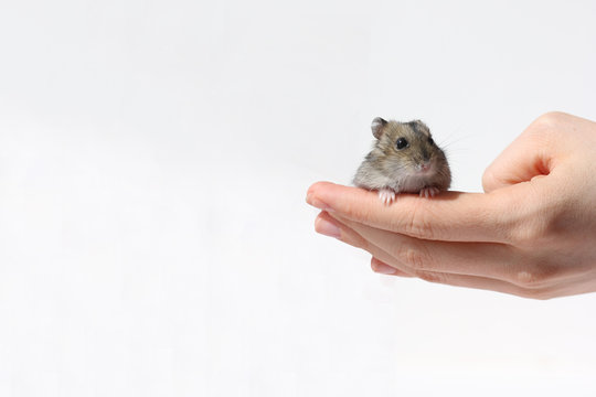 hamster on hand isolated