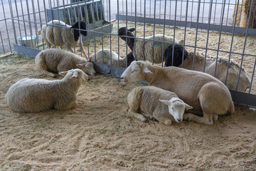 Thoroughbred sheep on a farm in the stall. Agriculture