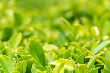 Closeup Natural view of green leaves in garden at summer sunlight for backgrounds and wallpapers. With copy space for your text message or content. Soft Focus.