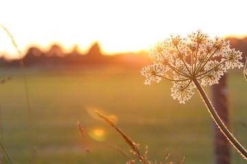 Fototapeten Natur duizendblad bij zonsondergang