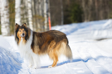 Rough Collie standing in snow.