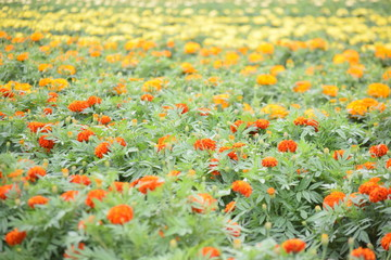Flower garden of marigold