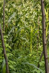 bahçedeki mısır ve meyveler