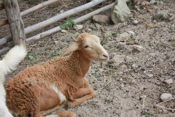Goat in nature farm