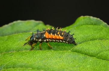 Scary spiny ladybird larva