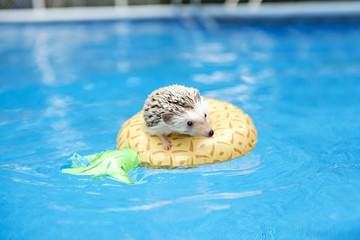 hedgehog on floting life buoy