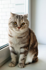 Beautiful fluffy gray tabby Scottish fold cat with yellow eyes is sitting near to the window.