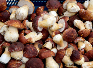 Mushrooms cep in summer season