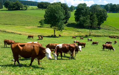 Kuhherde auf saftiger Wiese