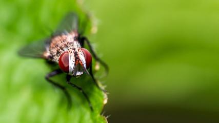 Macro Fly On Leaf