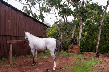 White horse waiting in the stable