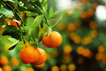 View on a branch with bright orange tangerines on a tree in a garden. Hue, Vietnam.