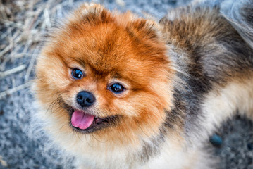 Red pomeranian spitz close up