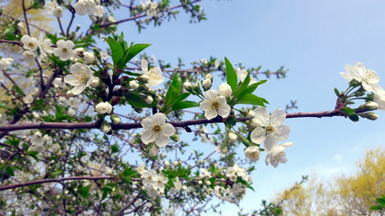 The blossoming cherry against the background of the sky