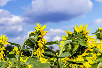 Sunflower field and blue sky with clouds.