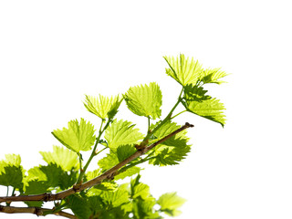 Grape branches with the young green shining leaves isolated