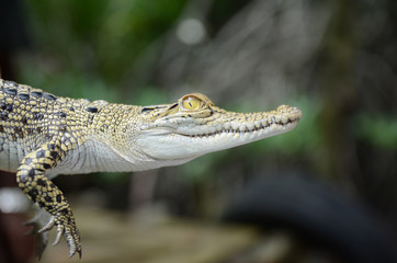 Small crocodile close-up. Jungle of Sri Lanka