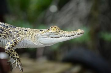 Small crocodile close-up. Jungle of Sri Lanka