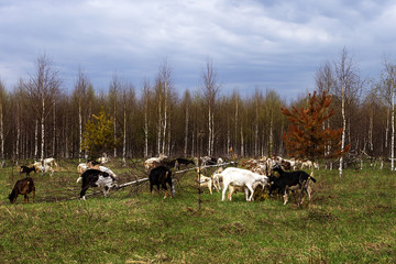 farm, a herd of goats grazing in a meadow