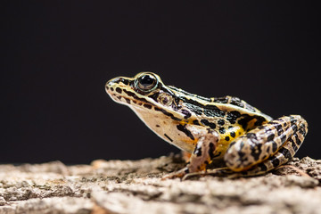 Close up view of a frog posing on a tree bark with a black background