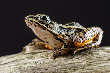 Close up view of a frog posing on a tree with a black background