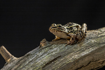 A frog in on a dead tree is ready to jump