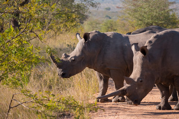Rhino group in Kruger National Park, South Africa