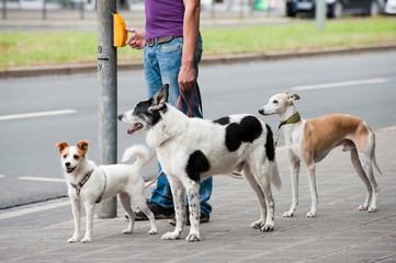Mann mit Hunden in der Stadt