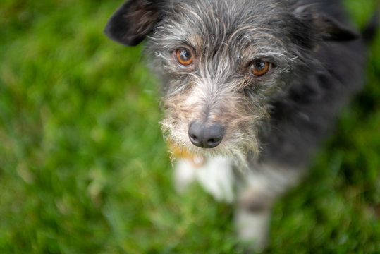 Close up of a scruffy little terrier dog sitting on grass looking up.
