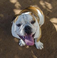 Bulldog Chucky