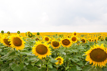 Sunflower field with cloudy blue sky, a lot of sunflowers.