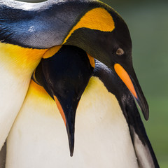 Adult pair of King Penguins captured by the waters edge in Gloucestershire during the summer of 2018.