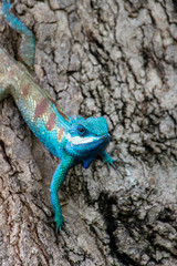 blue chameleon in tropical area on the tree