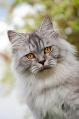 Sitzende Britisch Langhaar Katze im Garten