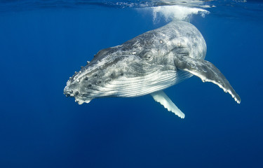 Humpback whale near the surface