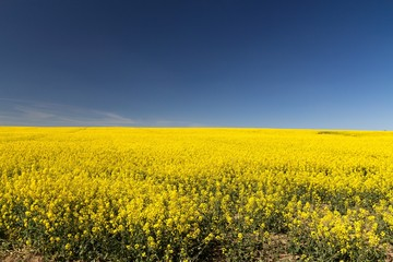 rapeseed yellow endless field with blue sky