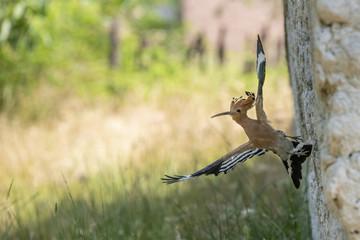 Hoopoe brings food for her nestlings