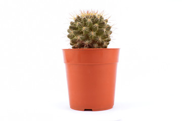 flower cactus in a pot on a white background