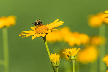 A bee is standing on a beautiful yellow flower