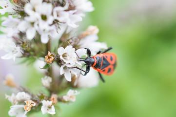 Czerwony owad na kwiatku mięty