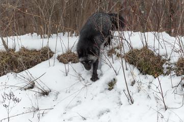 Fototapete - Silver Fox (Vulpes vulpes) Walks Down Hill