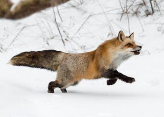 Fototapete - Red Fox (Vulpes vulpes) Runs Right