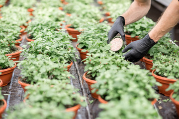 Pouring mineral fertilizers into the plants growing in the greenhouse at the plant production, close-up view